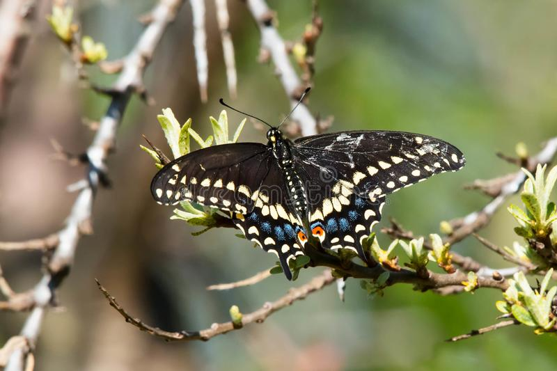 Black Swallowtail Butterfly - Papilio polyxenes. A Black Swallowtail Butterfly is perched on a branch. Also known as the American Swallowtail and Parsnip stock photo