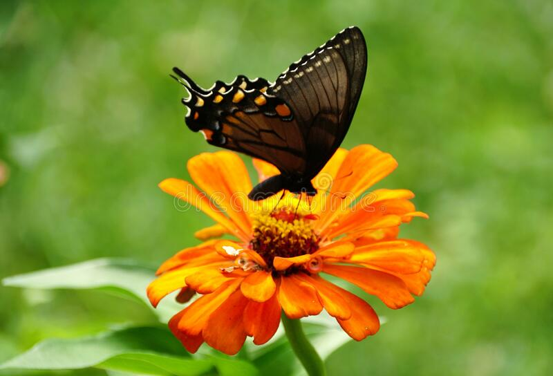 A black swallowtail butterfly pollinating an orange zinnia flower royalty free stock image