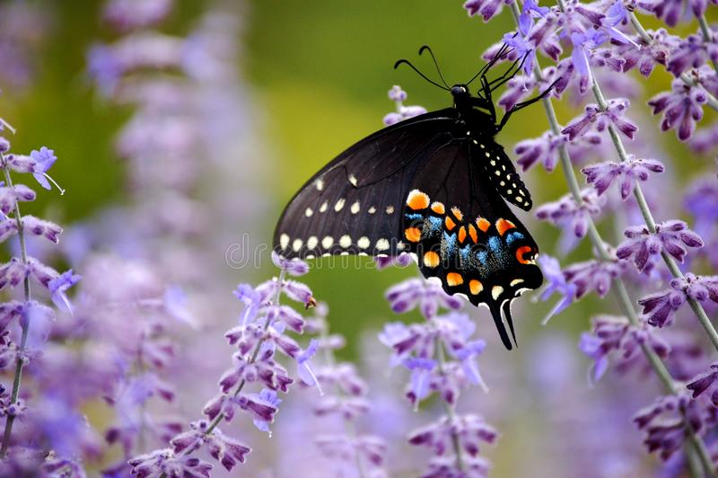 Black Swallowtail Butterfly with Purple Flowers. A black spotted swallowtail butterfly feeding on the purple flowers of Russian Sage stock images