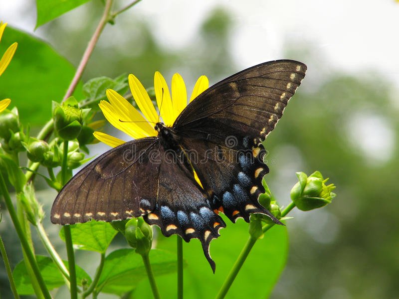 Black Swallowtail Butterfly on Yellow Flowers. This beautiful Male Black Swallowtail Butterfly is feasting on some delicious yellow cup flowers stock photo