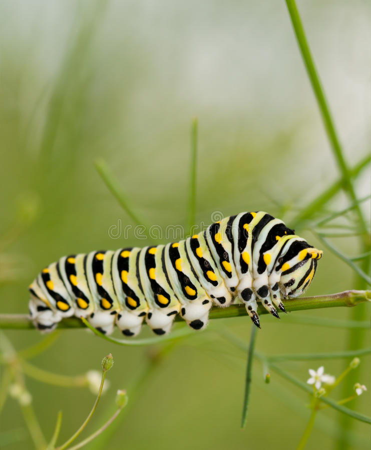 Black Swallowtail caterpillar royalty free stock photography
