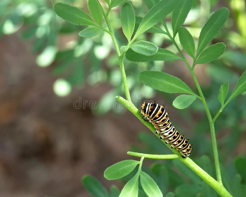 Black swallowtail caterpillar on a rue plant royalty free stock images
