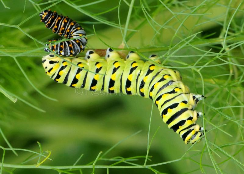 Black Swallowtail caterpillars, Papilio polyxenes. Big and small caterpillars eating leaves together - Black Swallowtail, Papilio polyxenes (second and fifth royalty free stock image