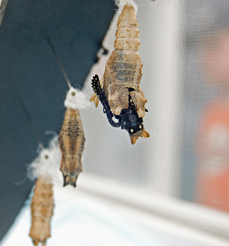 Black Swallowtail Chrysalis. Black swallowtail emerging from its chrysalis royalty free stock images