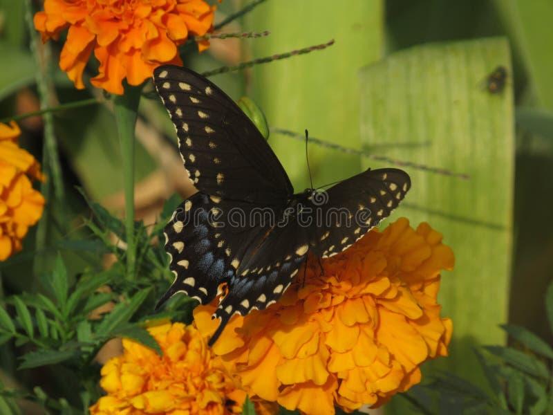 black swallowtail royaltyfri fotografi