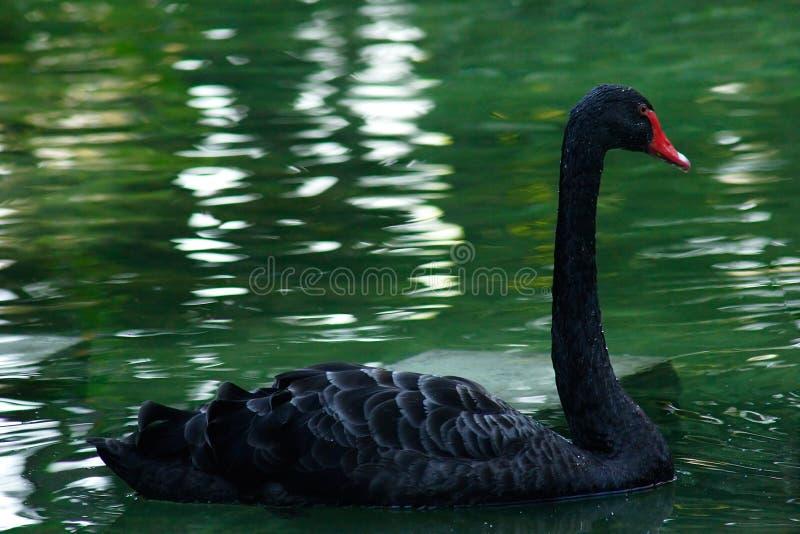 Black Swan Free Stock Photography