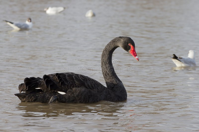 Black Swan royalty free stock photos