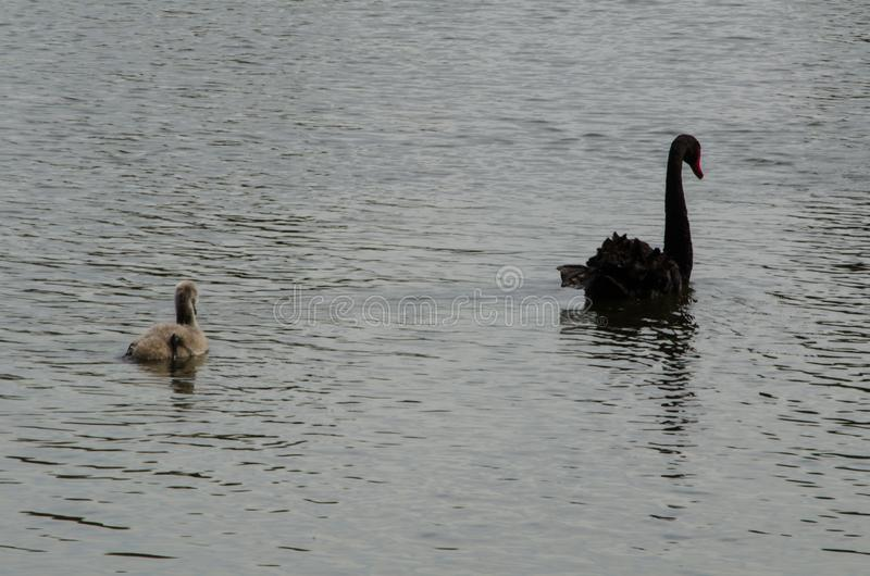 Black swan with it baby swimming in the pond at Sydney park. A black swan with it baby swimming in the pond at Sydney park stock image