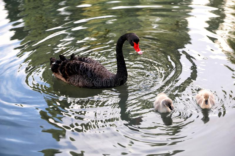 Black swan with chicks royalty free stock image