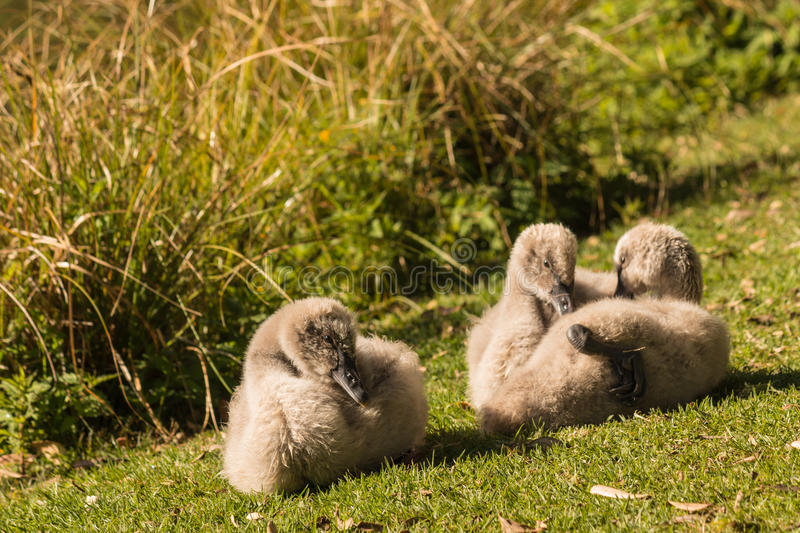 Black swan cygnets basking on grass royalty free stock images