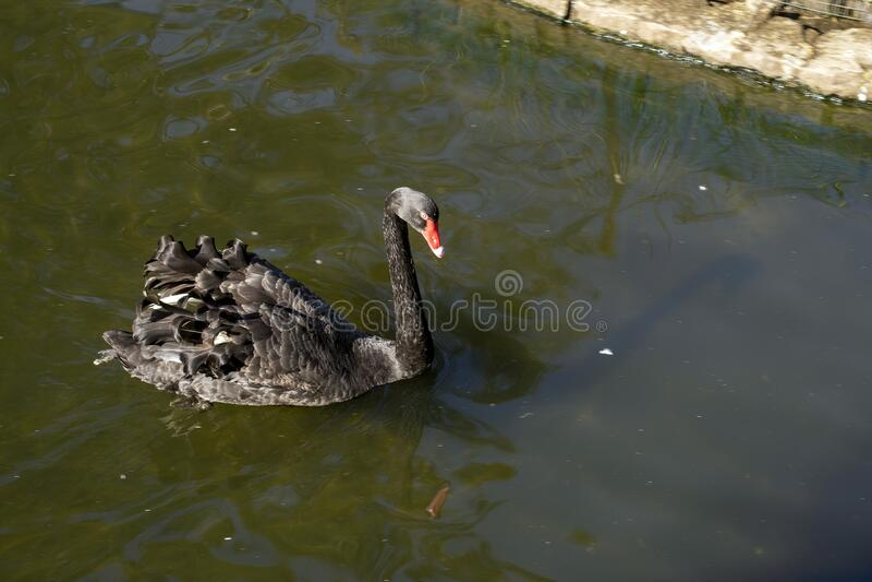 Black swan cygnus atratus, Sydney, Australia. Black swan cygnus atratus swimming on pond, Sydney, Australia stock image