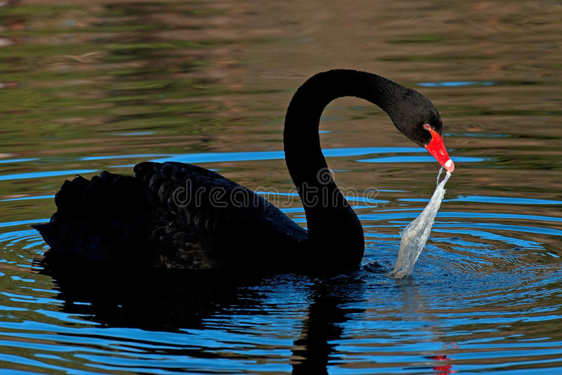 The black swan, Cygnus atratus try to eat plastic pollution. In the belief that it is food such as algae stock photos
