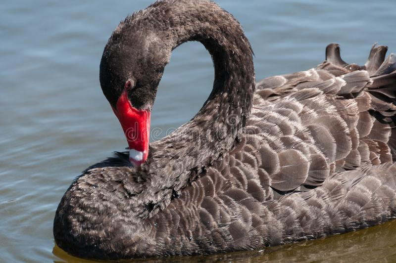 Black swan, Cygnus atratus wild bird relaxing on water. Australian black swan close up portrait stock photo