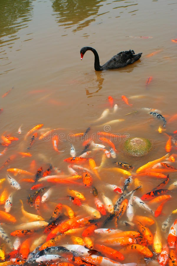 Black swan and koi in Chengdu, China. A black swan gracefully passes a mass of swarming koi fish in a pond in Chengdu, China royalty free stock photography