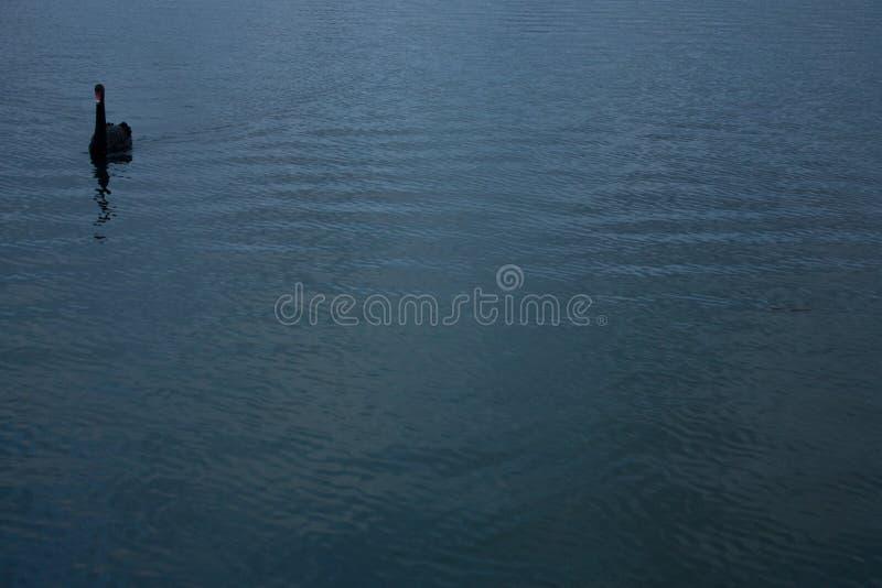 A black swan in a lake in Australia stock photo