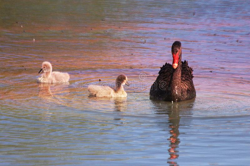 Black Swan and Cygnets royalty free stock photos