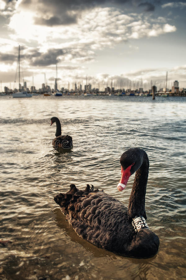 Download Black swan in Melbourne stock photo. Image of black, boats - 25442536