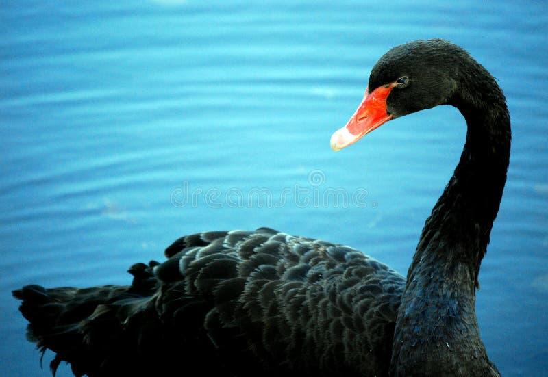 Black Swan with Orange Beak. A beautiful black swan with bright orange beak sits on a blue pond royalty free stock photo