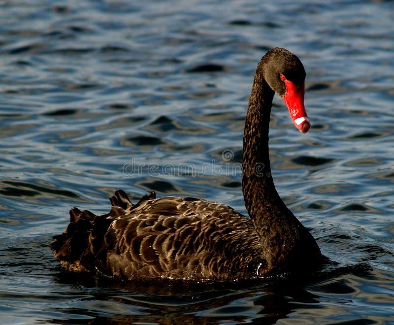 Black Swan of Perth royalty free stock image