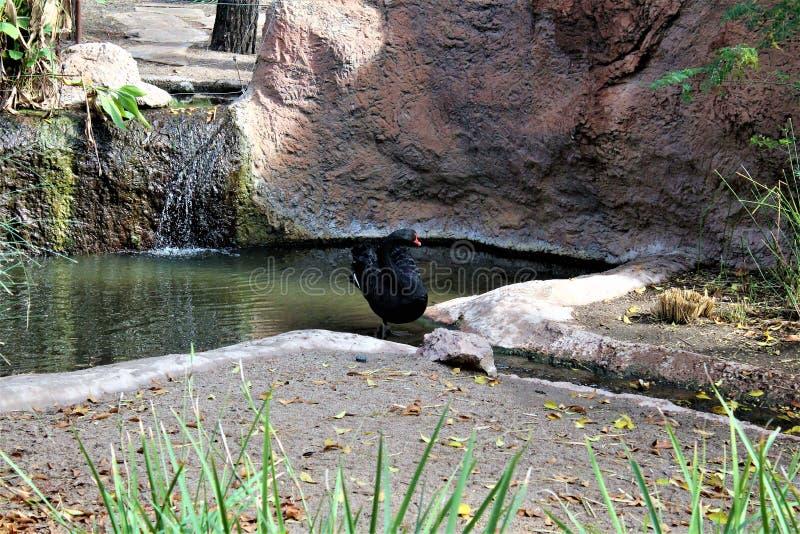 Black Swan at the Phoenix Zoo in Phoenix, Arizona in the United States. Velvet textured Black Swan at the Phoenix Zoo in Phoenix, Arizona in the United States royalty free stock photos