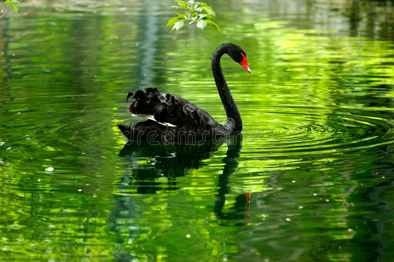 Black swan in the pond. Green reflection