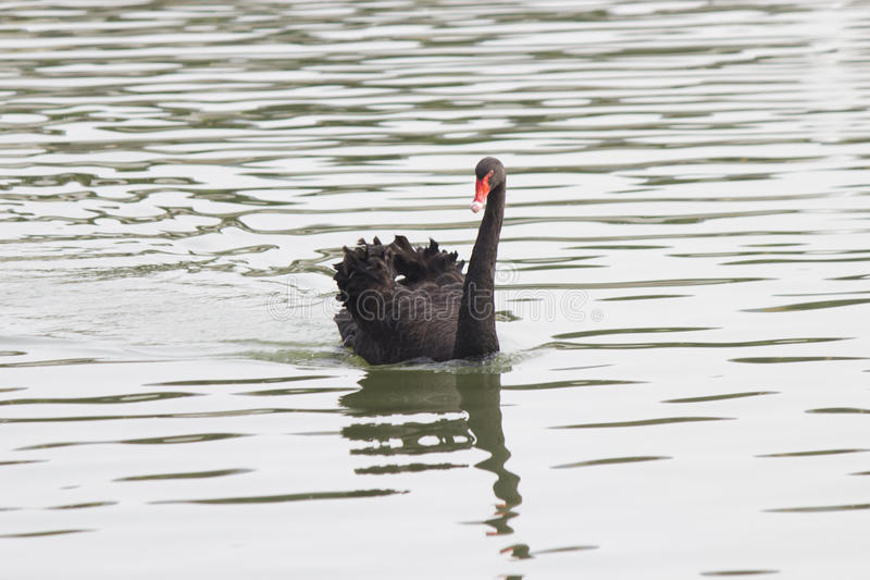 Black swan on a pond. The black swan on a pond floats on the affairs stock photo