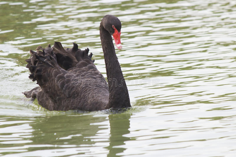 Black swan on a pond. The black swan on a pond floats on the affairs royalty free stock photography