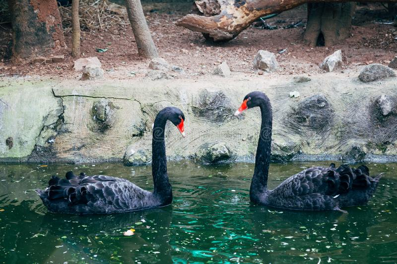 Black swan on pond in Mysore, India. Asia royalty free stock images