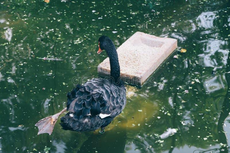 Black swan on pond in Mysore, India. Asia stock photo