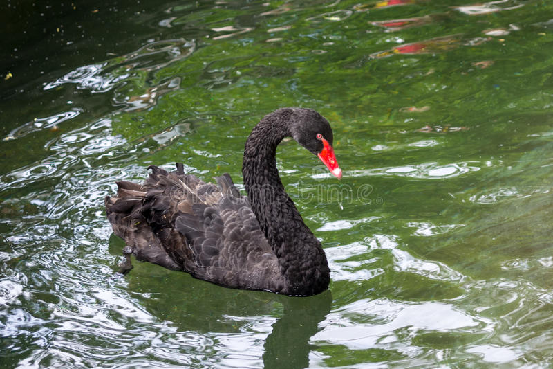 A black swan royalty free stock photography