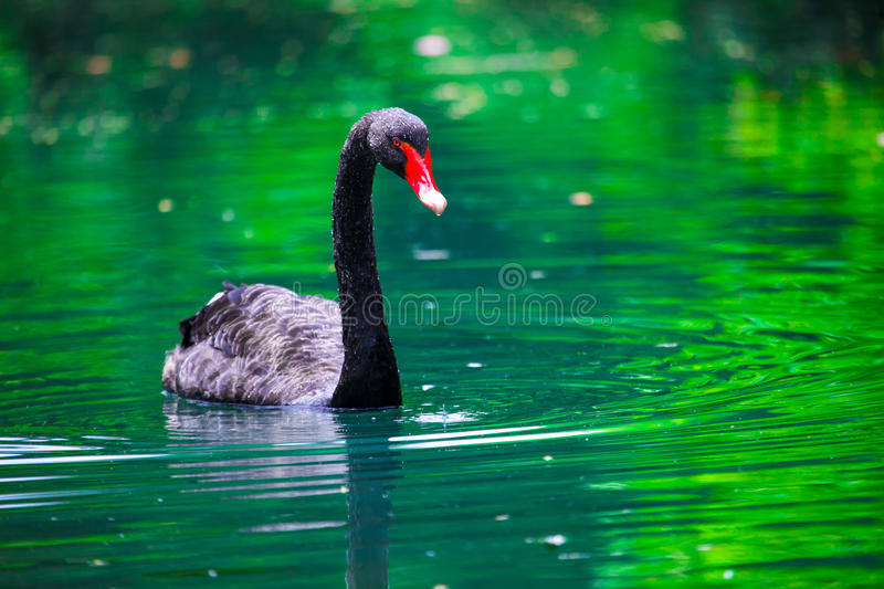 Download Black Swan With A Red Beak In The Pond Stock Image - Image of pride, swan: 30277083