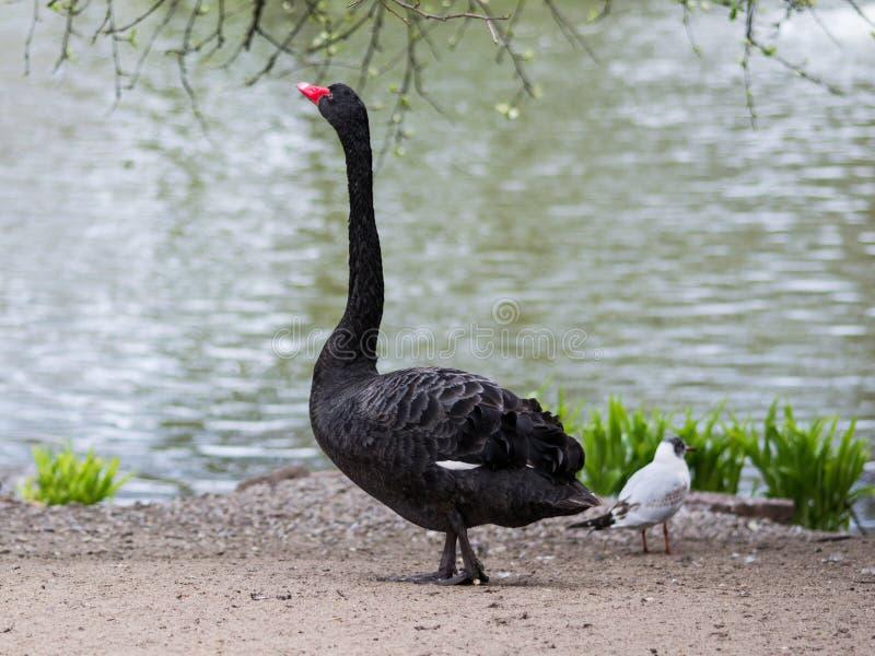 Black swan / Cygnus atratus stock photography
