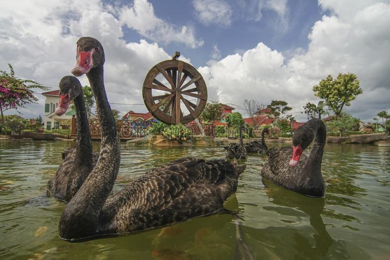Download Black Swan Swim With Koi Fish In Garden With Watermill. Stock Photo - Image of beautiful, color: 104858244