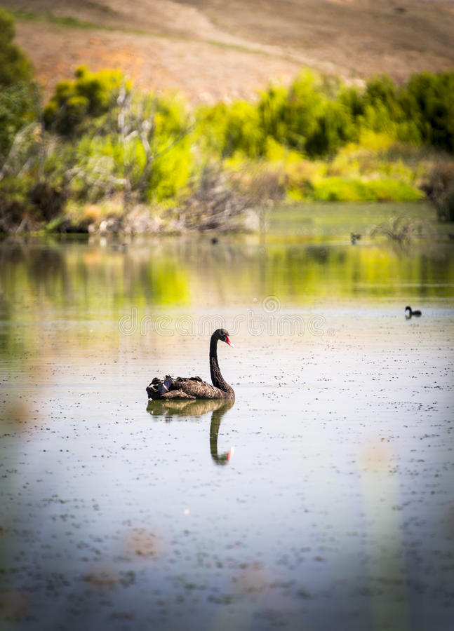 Black Swan. Swimming on a calm section of the Murray River, Australia royalty free stock photo