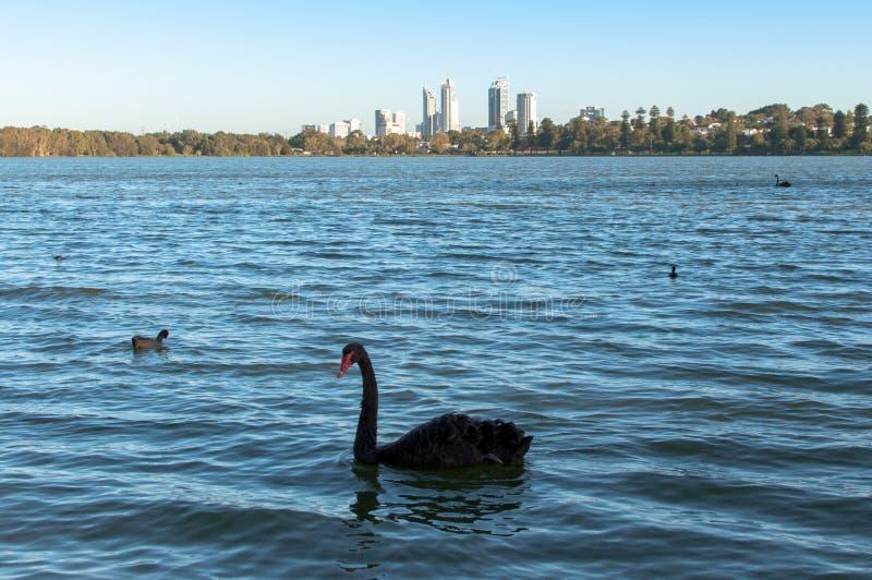 Black swan swimming on lake stock images