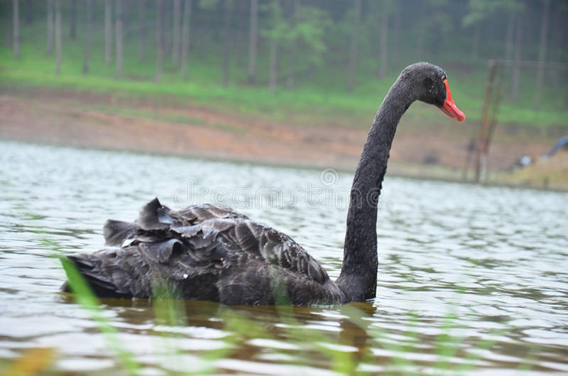 Black Swan swimming at lake of reservoir in Pang Ung. Black Swan swimming at a large reservoir in Pang Ung in Mae Hong Son, Thailand. Pang Ung (Pang Oong) or royalty free stock photo