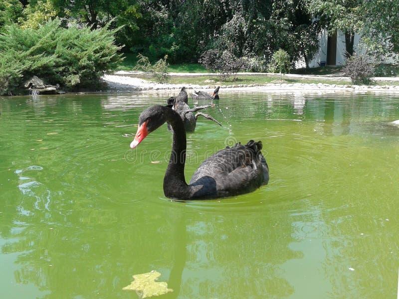 Black swan swimming peacefully royalty free stock photos