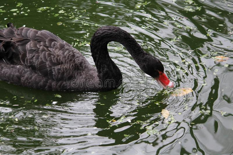 BLACK SWAN SWIMMING IN POND . royalty free stock photography
