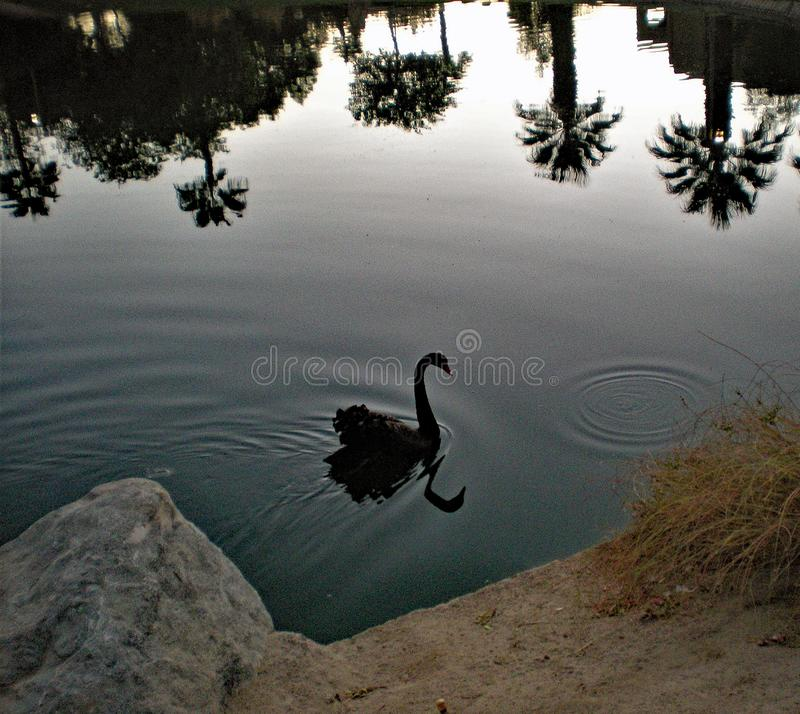 Black Swan Swimming in a Pond and Palm Tree Reflections on the Water stock image