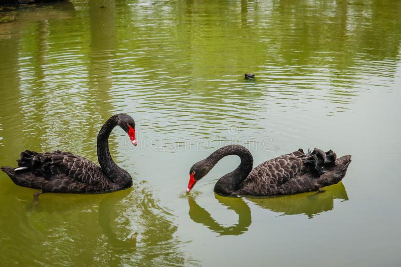 Black Swan is swimming stock photos