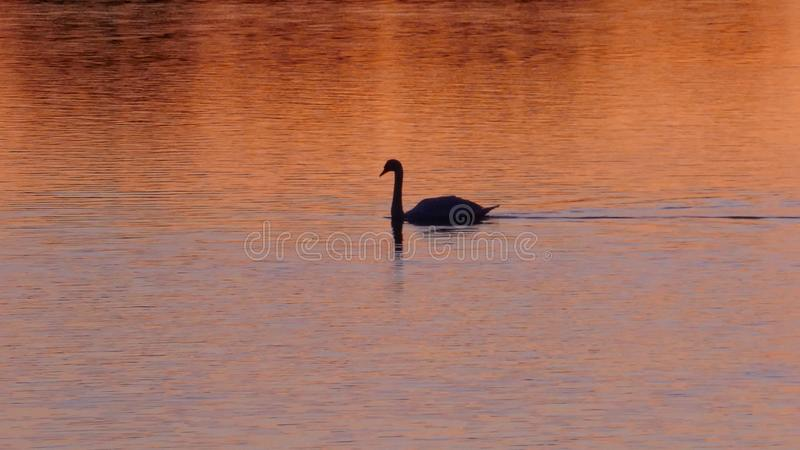 A black swan swims in the golden evening sun on a lake stock photo