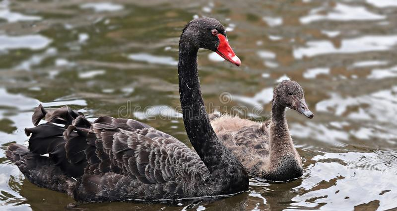 Black Swan, Water Bird, Ducks Geese And Swans, Bird Free Public Domain Cc0 Image