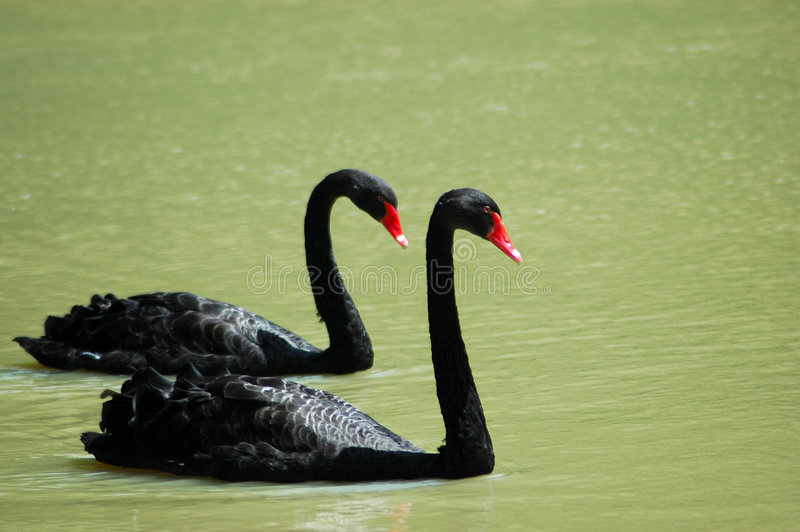 Download Black swans stock photo. Image of peace, animal, lakes - 1657118