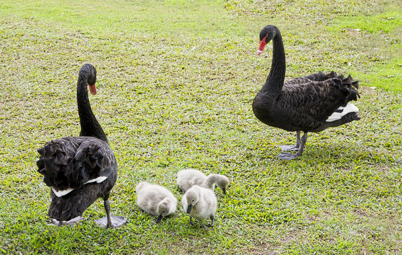 Black swans with baby cygnets. Australian black swan Cygnus atratus parents with young cygnets feeding on grass royalty free stock image