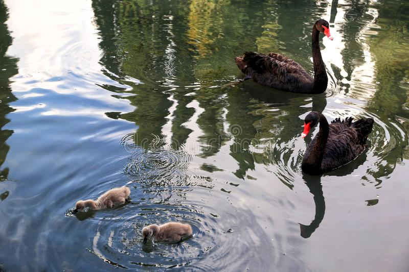 Black swans with chicks stock images