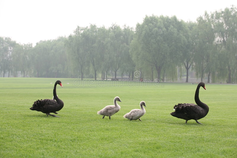 Download Black Swans Family Stock Photo - Image: 6520850