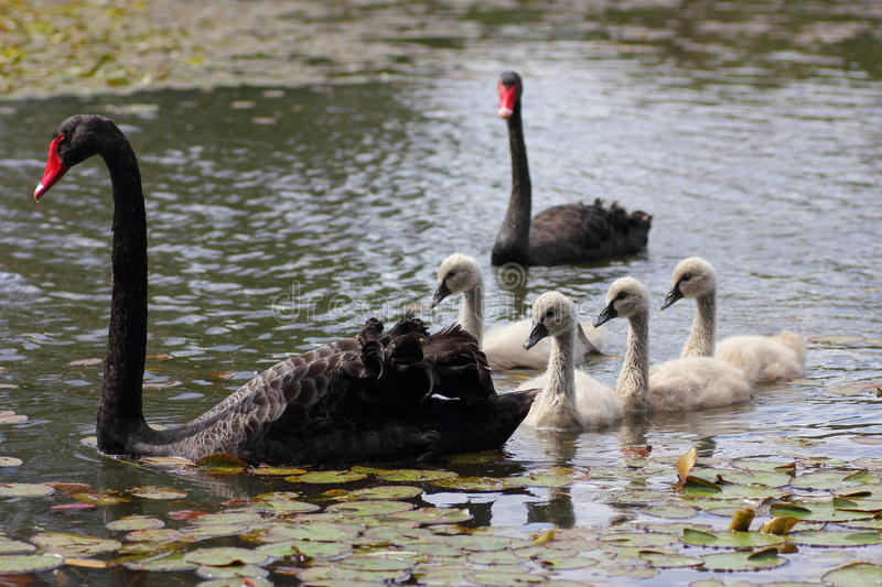 Black swan couple with white cygnets in pond stock photography