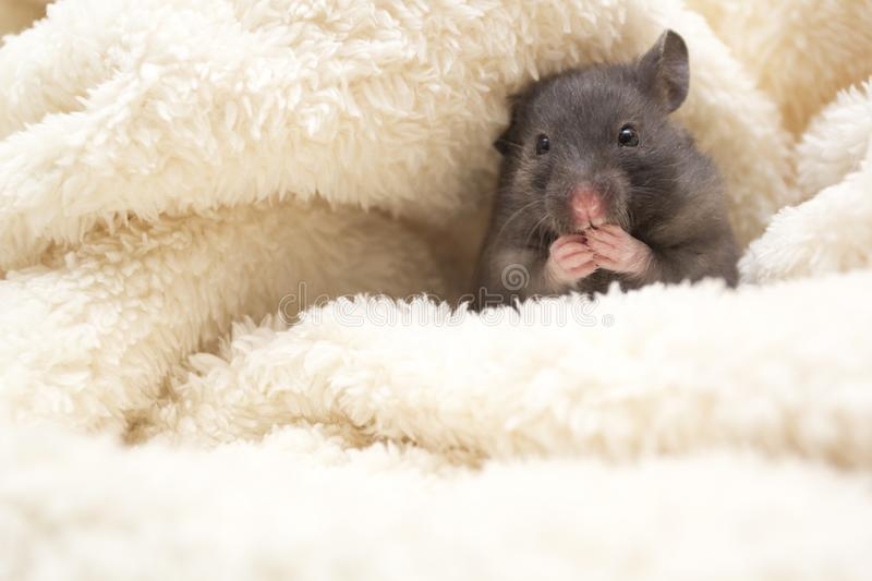 Small Black Syrian Hamster Eating Cucumber Stock Image