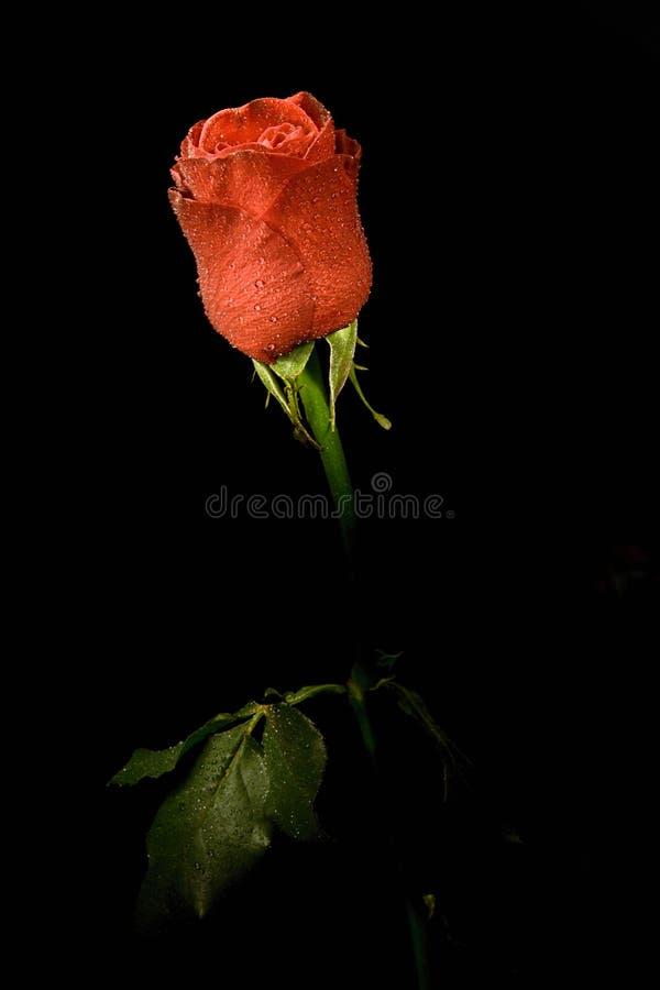 black tła kwiatek róże pojedynczych fotografia royalty free