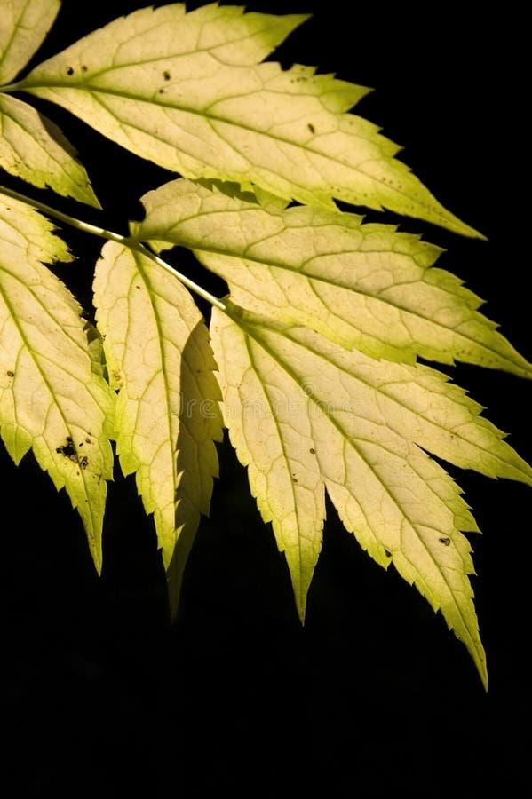 black tła liści jesienią fotografia stock